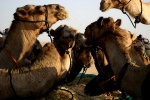 View the album Camel Trek